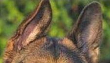Ухо домиком у взрослой собаки - залом у основания уха